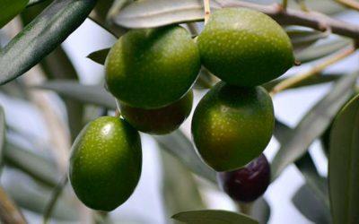 El aceite de oliva virgen extra, mejor crudo